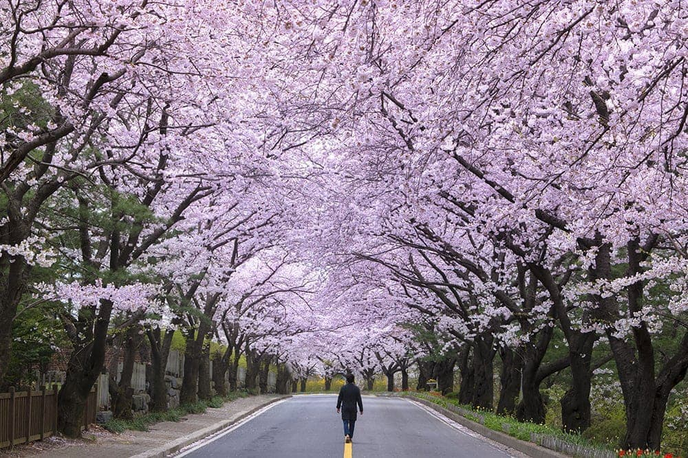 A street lines with cherry blossoms