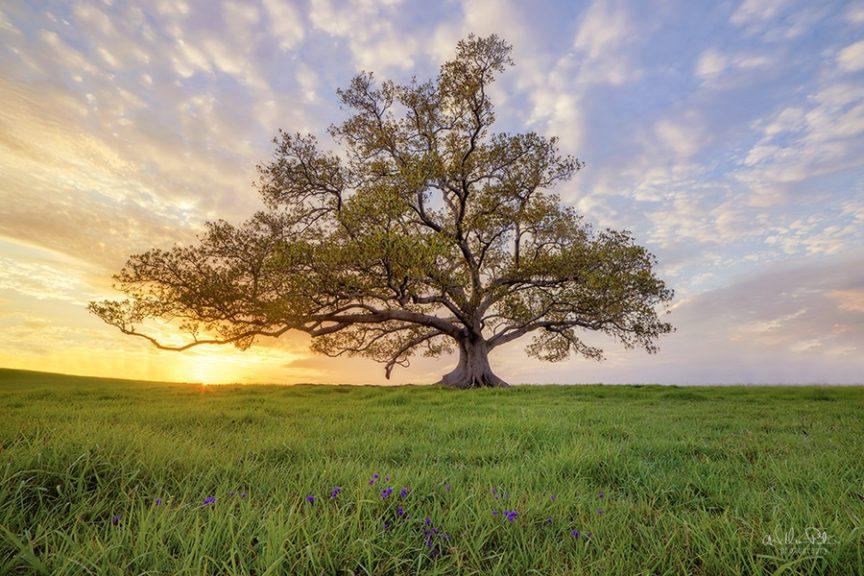 Lone tree sunrise