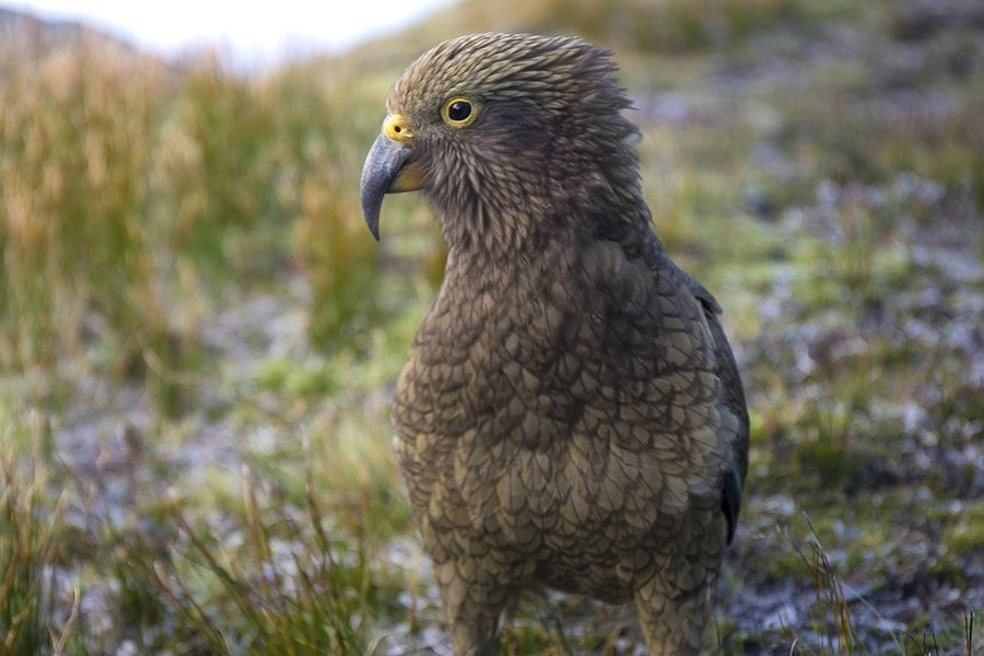 Wild New Zealand Kea Bird