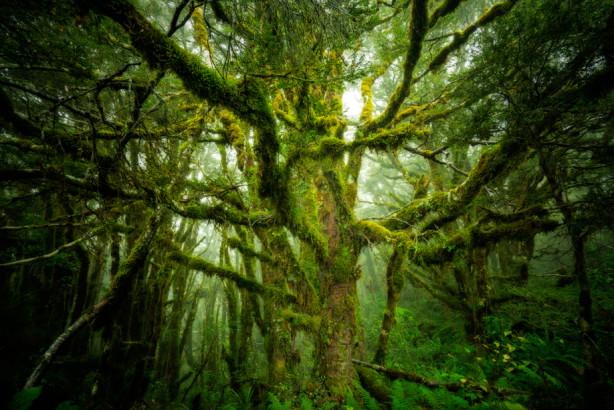 A mossy beech tree in New Zealand