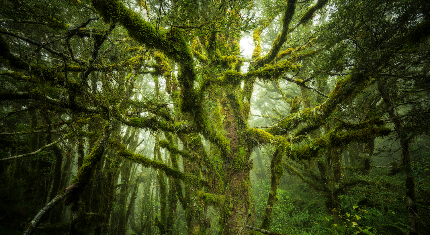 Fiordland_Tree_William_Patino_Banner