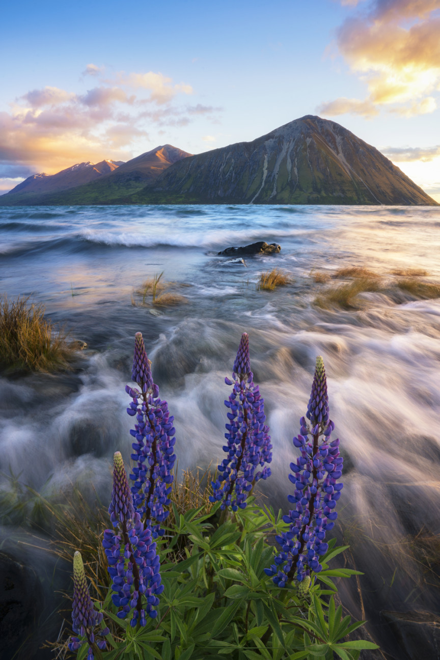 Lupins and mountain scene, New Zealand