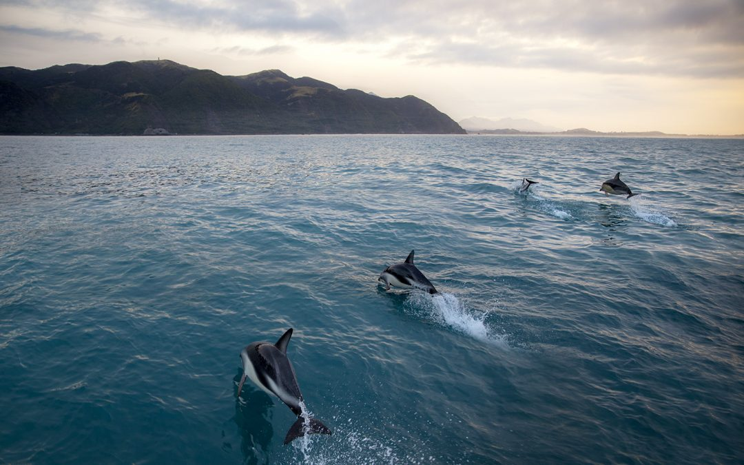 Where the mountains meet the sea – swimming with dolphins in Kaikoura New Zealand