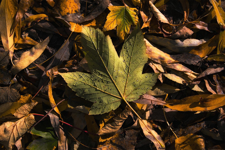 Autumn_Leaf_Patino_Arrowtown_NZ copy