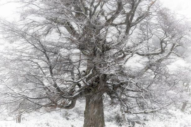 Snow Tree, Patagonia