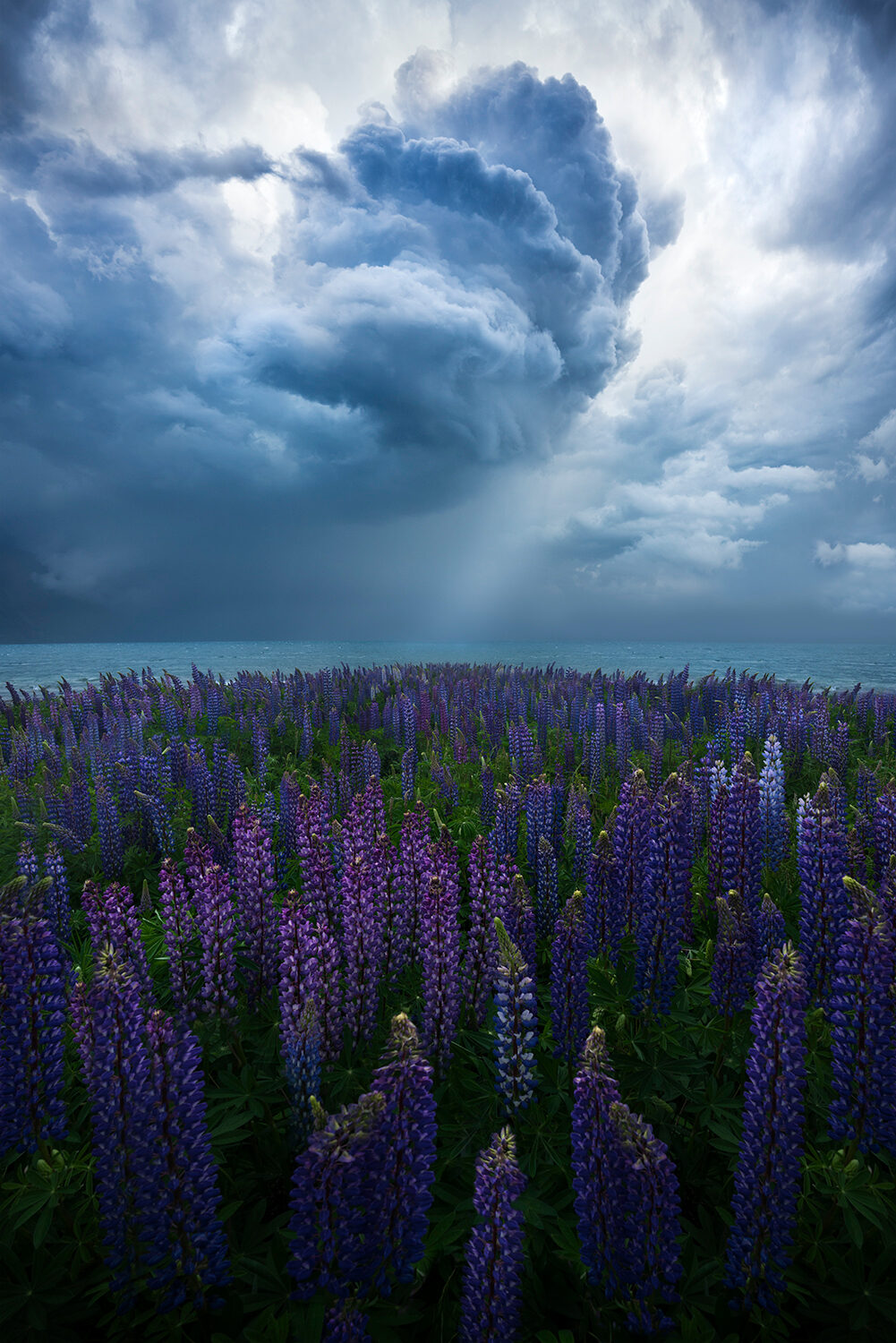 Summer storm clouds and lupin flowers