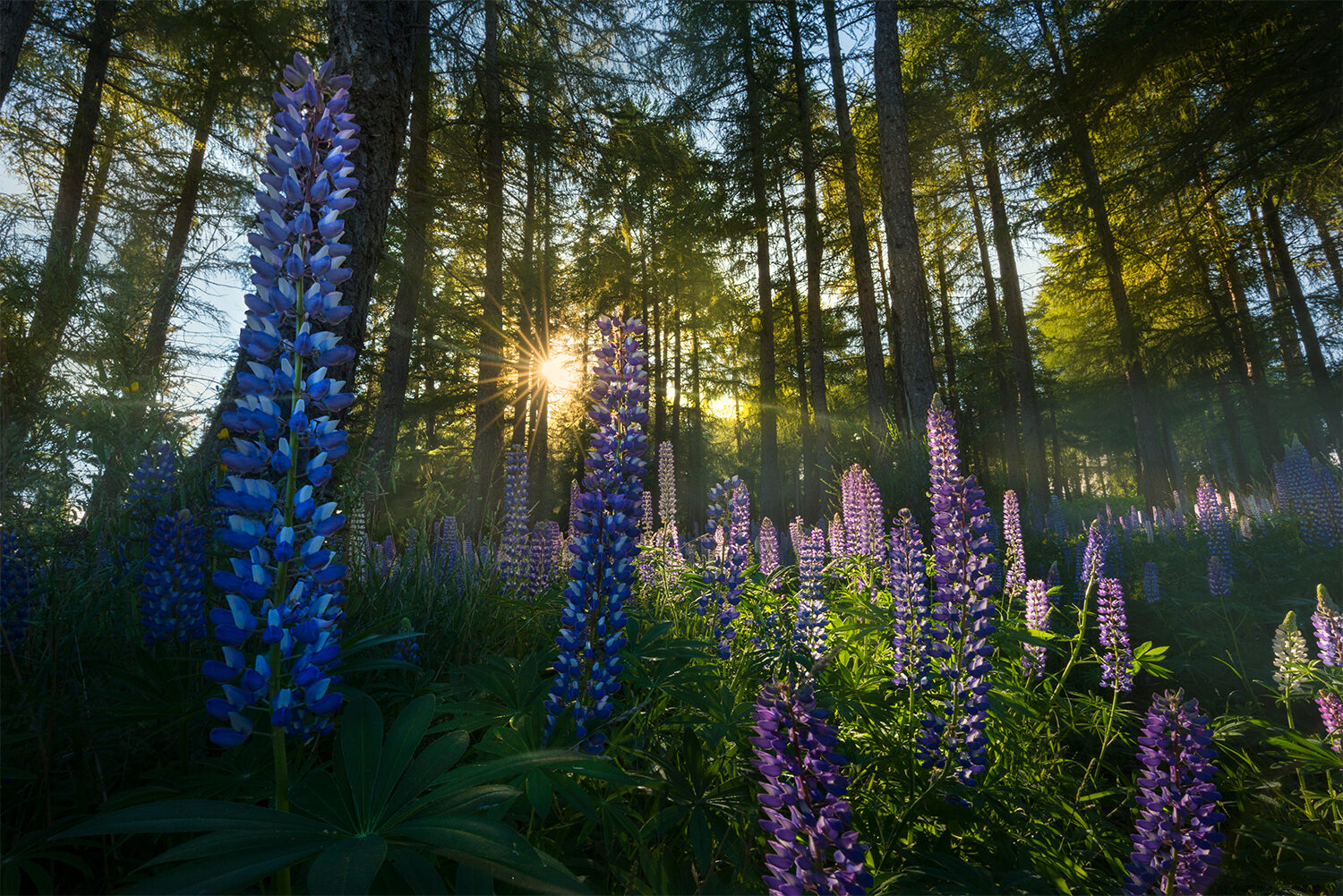 Lupin forest