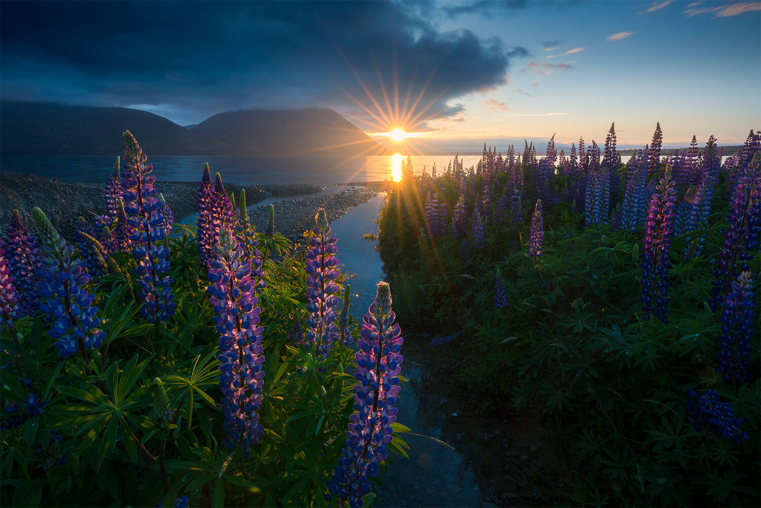 Lupin flowers by the lake, New Zealand