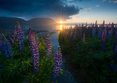 Lupins-New-Zealand