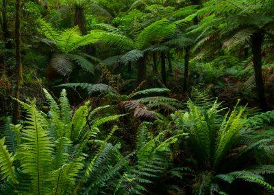 Fern-Trees-Of-New-Zealand
