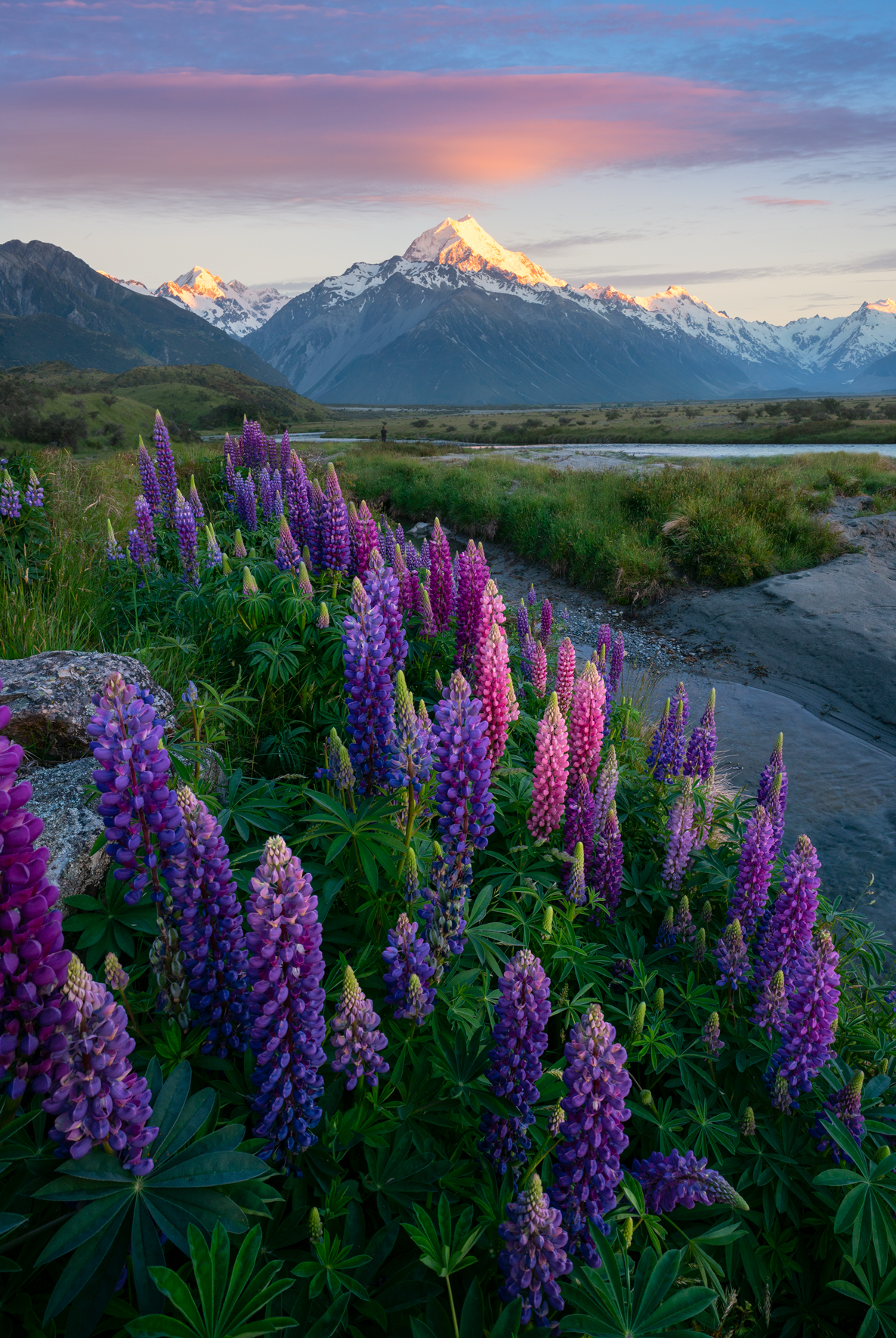 Lupin flowers and Mount Cook, New Zeland
