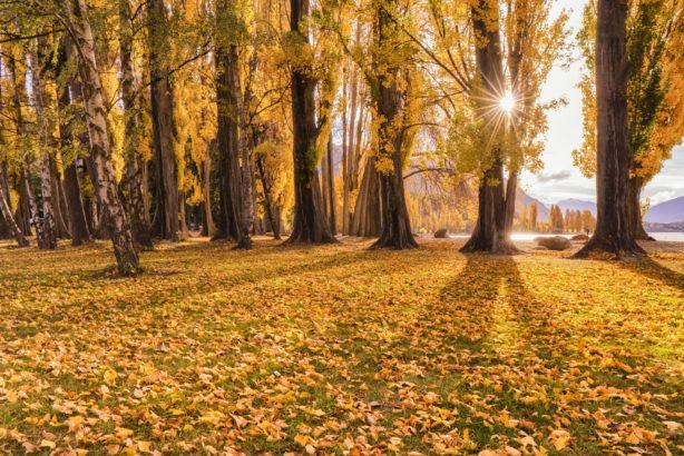 Autumn Leaves, Wanaka
