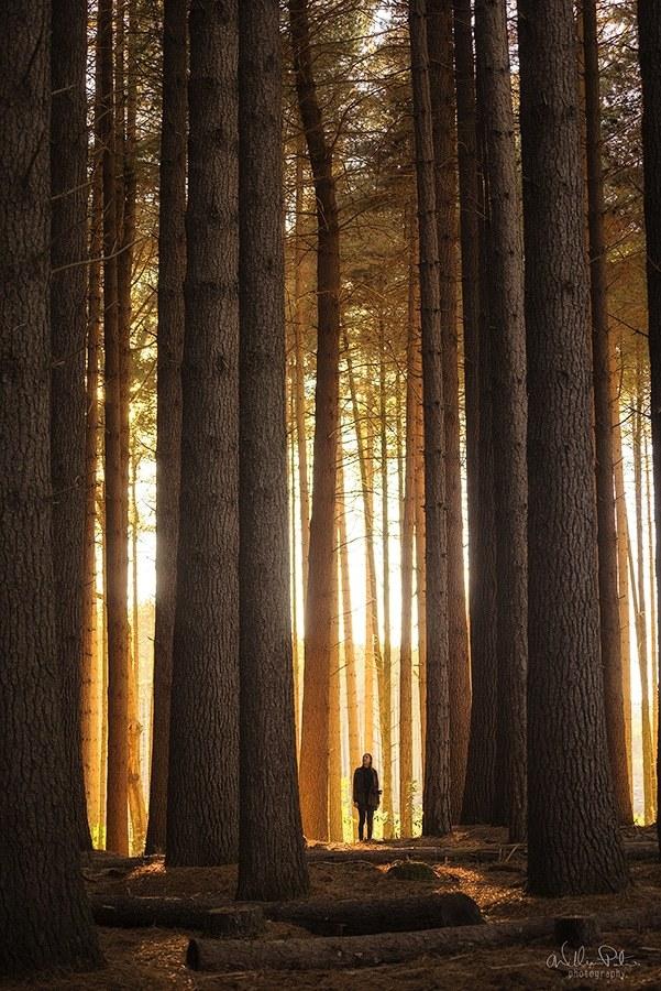 Sugar pine forest.
