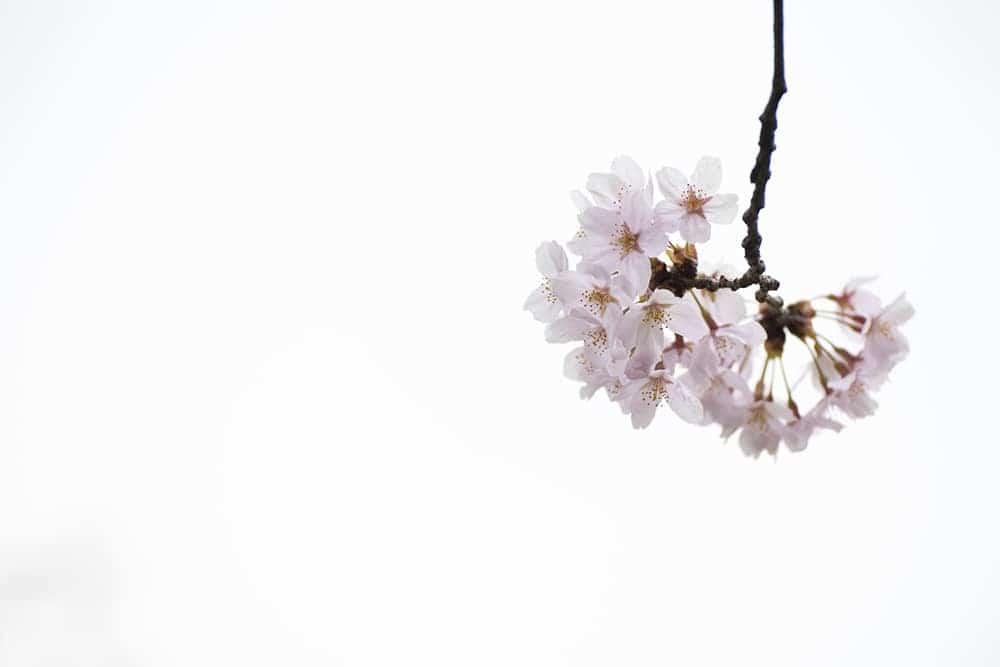 Cherry Blossom Tree.