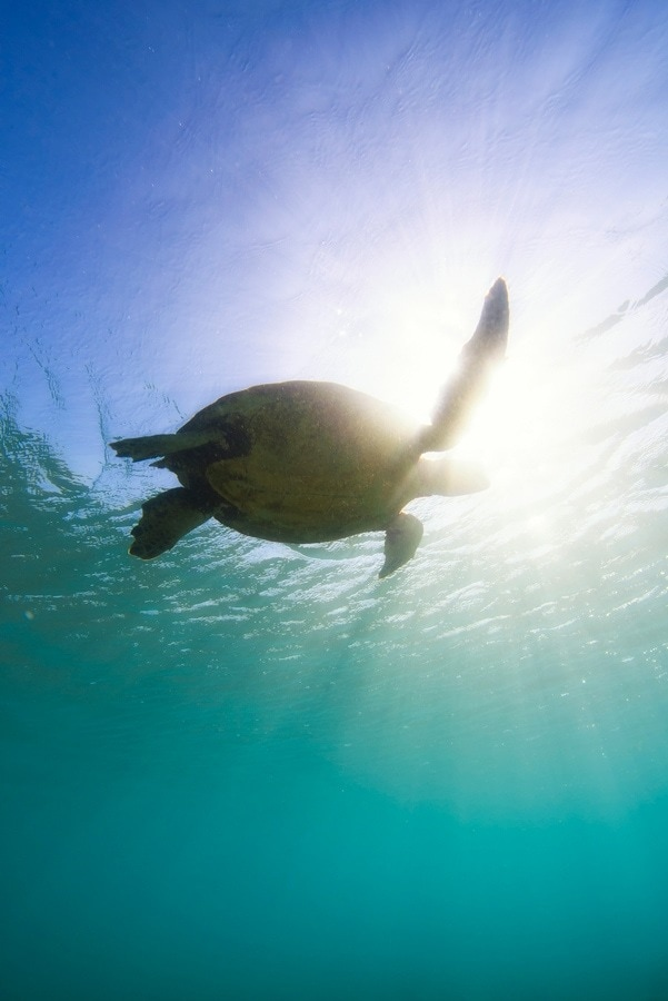 A sea turtle silhouetted by the sun