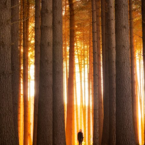 A girl standing amongst large pine trees at dawn