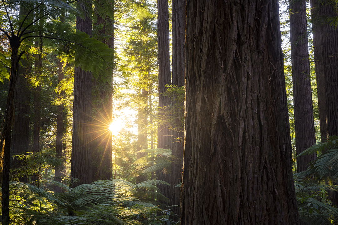 Sunlight through the Redwoods