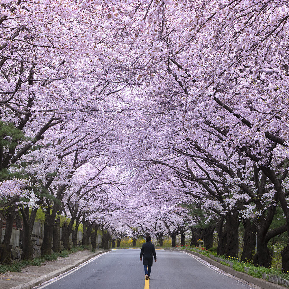 Cherry blossom trees, South Korea