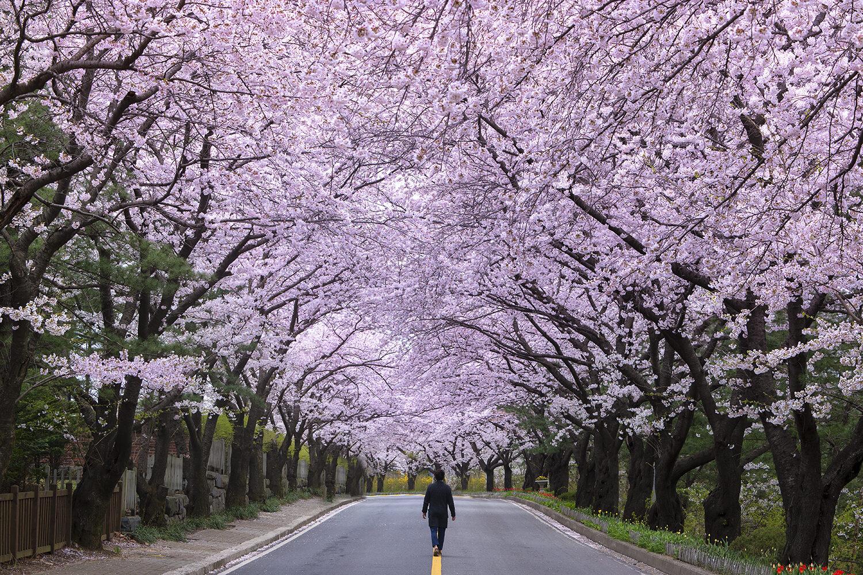 Cherry blossom trees, South Korea