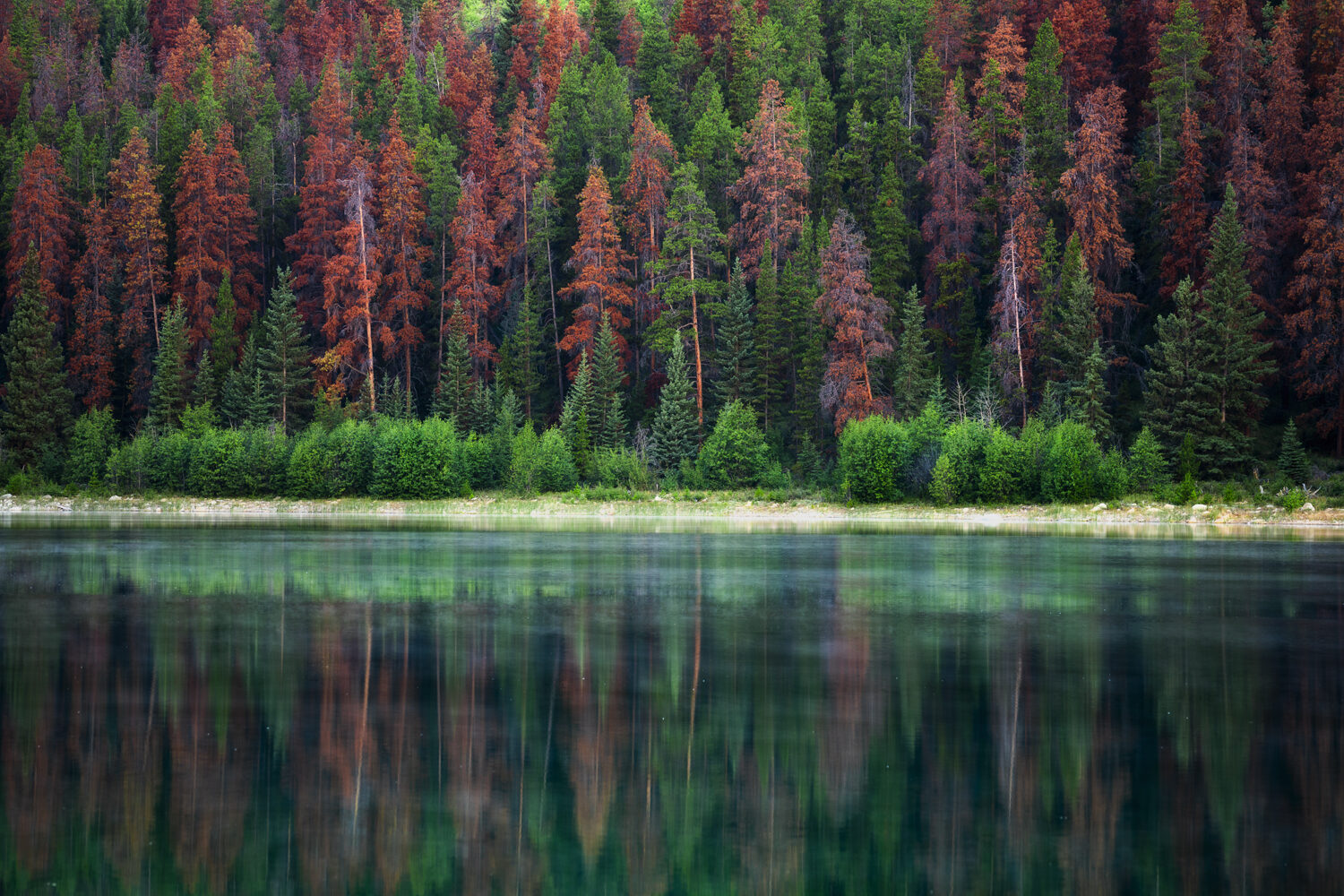 Canadian pine trees