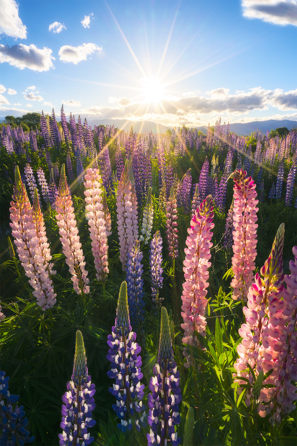 Field of lupins in New Zealand