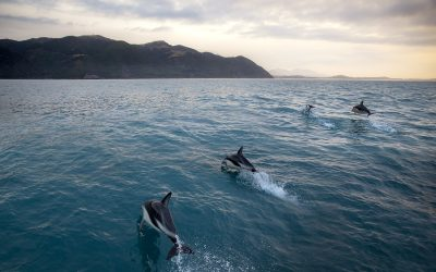 Swimming with dolphins in Kaikoura, NZ