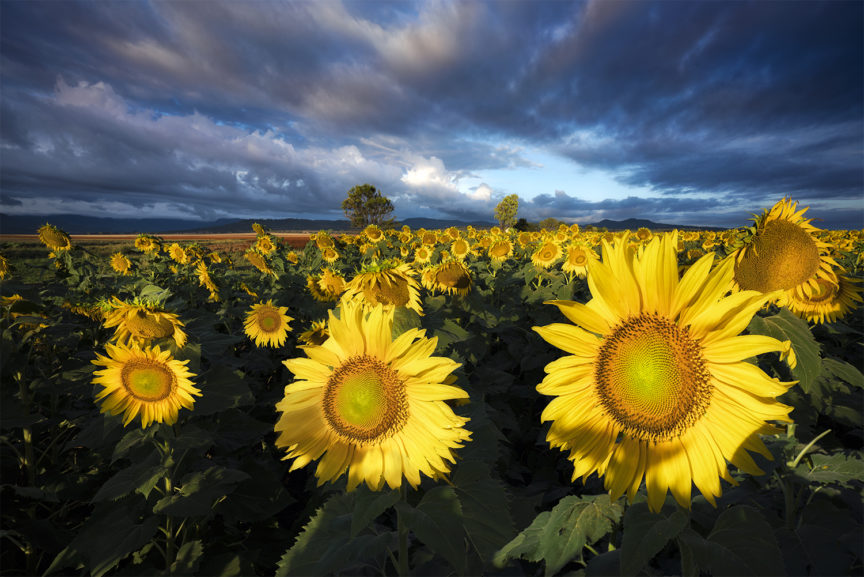Sunflowers at sunrise.