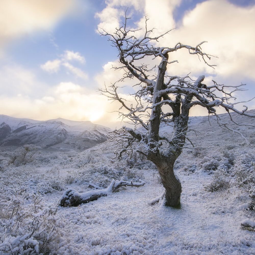 Snow fall, Patagonia tree
