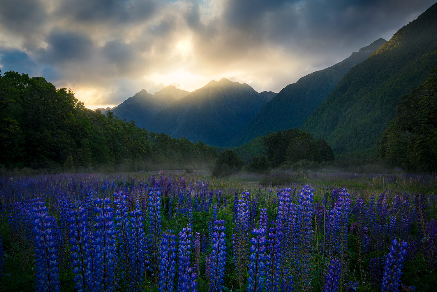 Lupin flowers by the mountains, Fiordland NZ