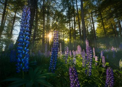 Lupin-Forest-New-Zealand-William-Patino