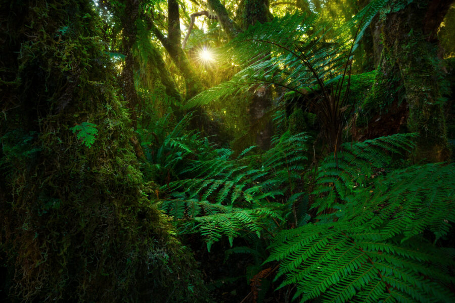 Lush fern forest, New Zealand