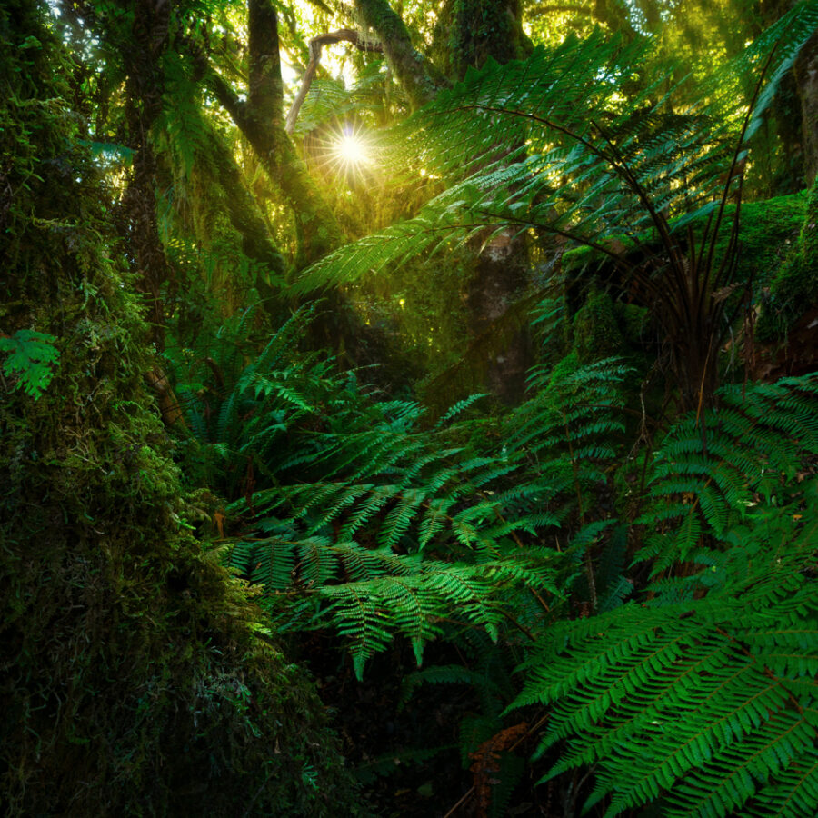 Lush fern forest, New Zealand