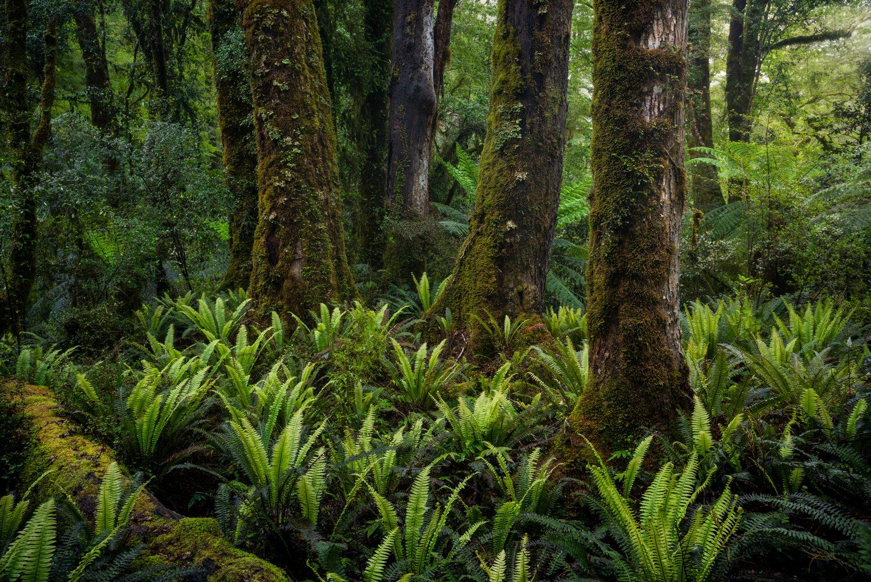 Lush beech forest, Fiordland New Zealand