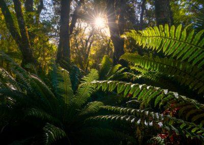 Sunlight through the fern forest