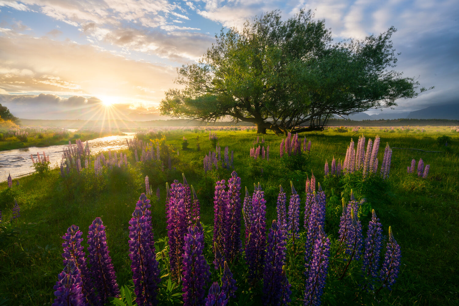 Wild lupins and tree, Te Anau New Zealand