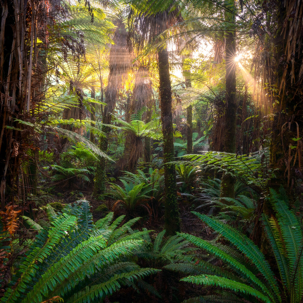 Ancient beech forest, New Zealand