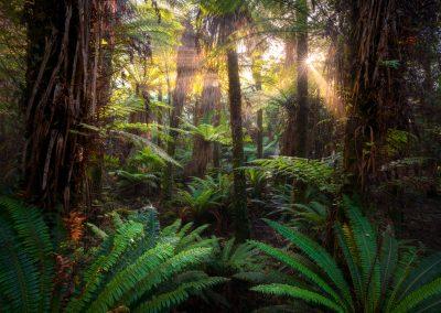 Ancient beech forest, New Zealand