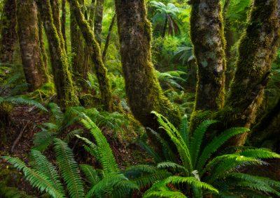 Fiordland-Beech-Forest