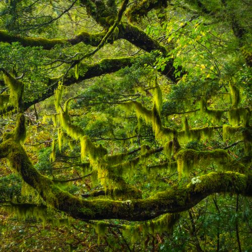 Beech forest and moss, Fiordland New Zealand