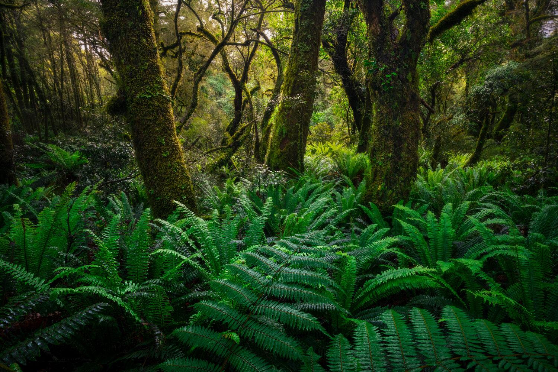 Green fern forest of Fiordland, New Zealand