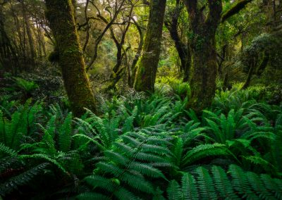 Green fern forest of Fiordland, New Zealand