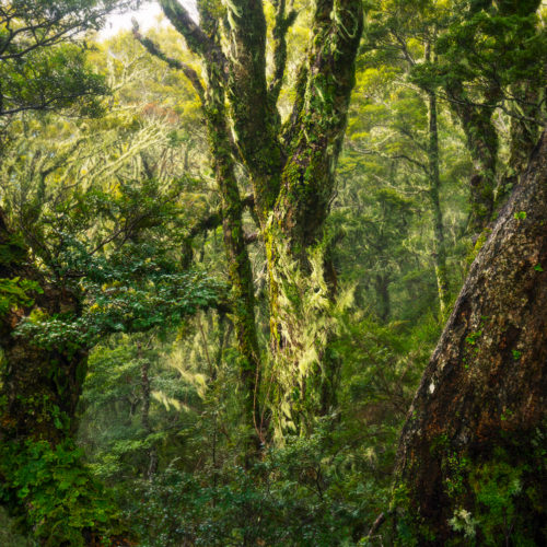 Trees in a southern beech forest