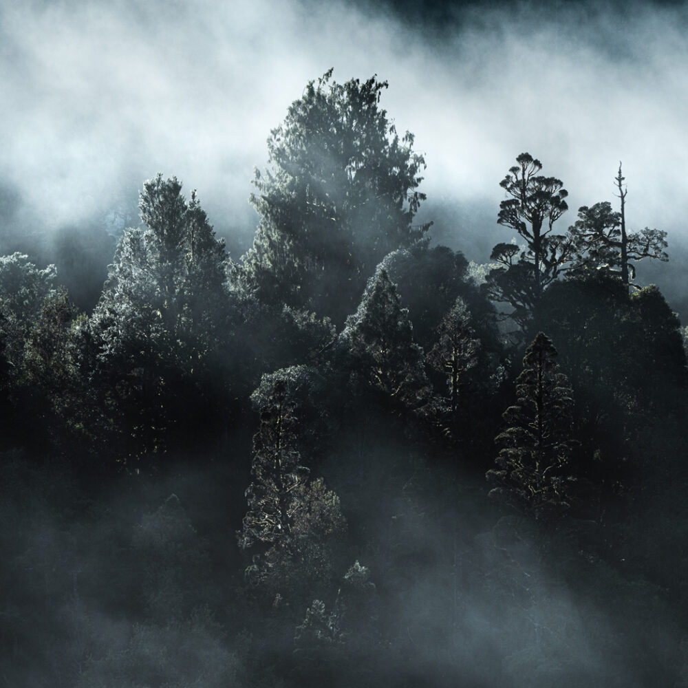 Misty trees. West Coast New Zealand