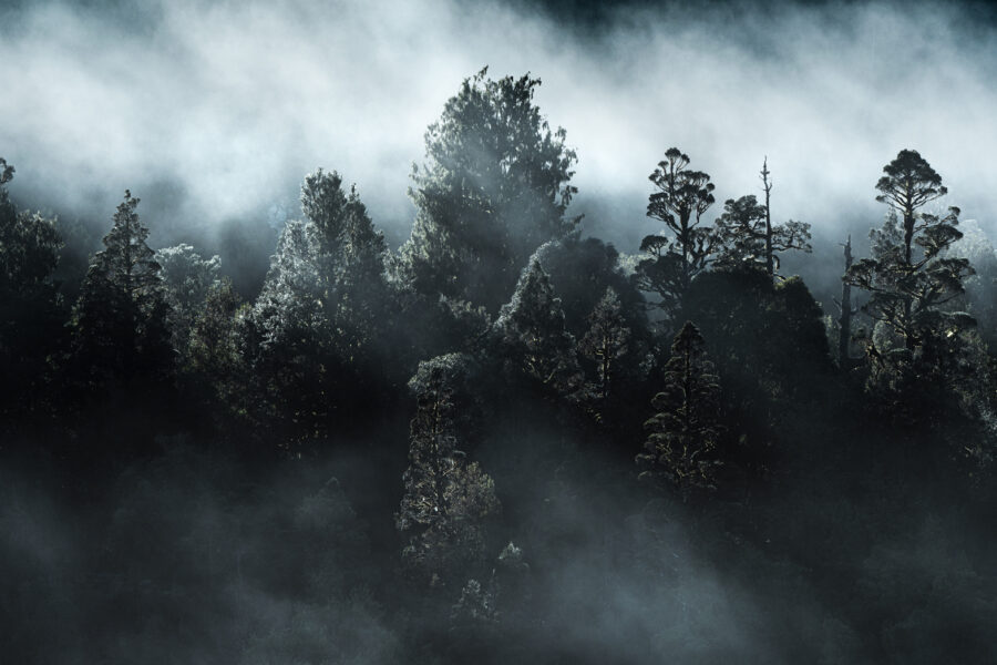 Misty trees. West Coast New Zealand
