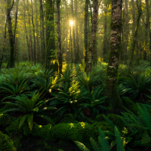 Sunlight filtering through beech forest in Te Anau, New Zealand
