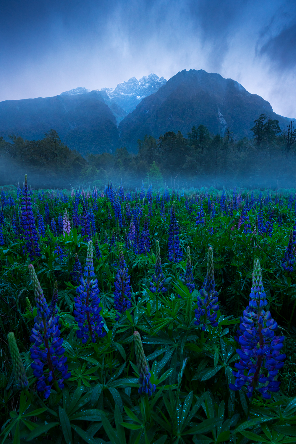 Wild lupin flowers in New Zealand