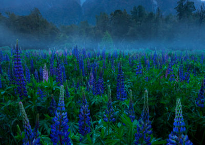 Fiordland-Lupin-Flowers