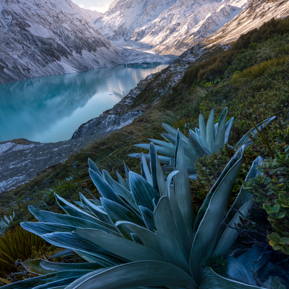 Celmisisas Tikumu, Hooker valley New Zealand