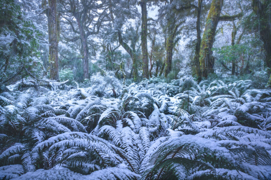 Snow covered beech forest in Fiordland, New Zealand. Photography by William Patino.