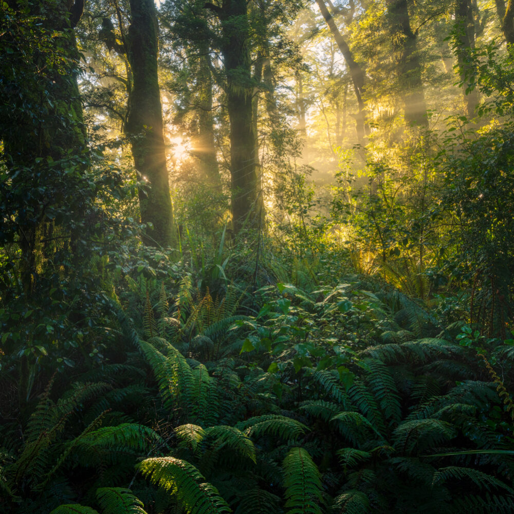 Fiordland forest beams, Copyright William Patino